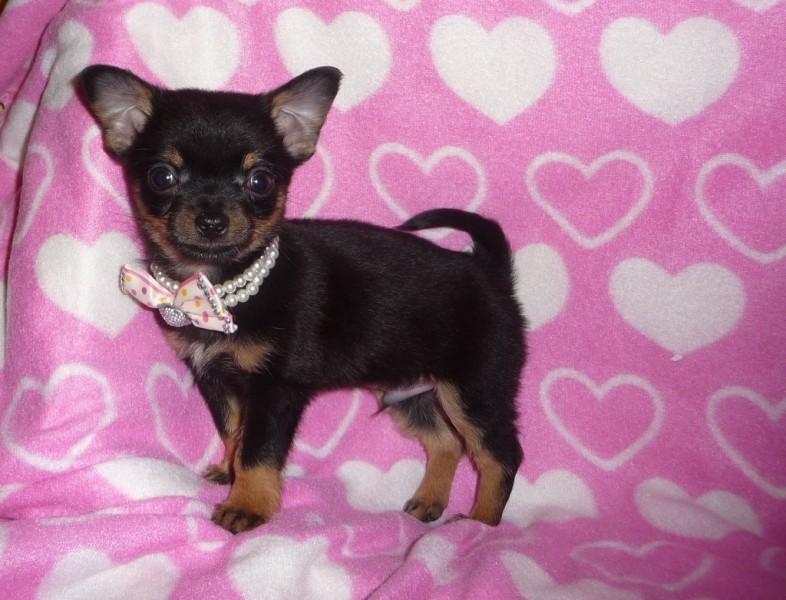 Chihuahua Par Lung Vanzare - joshuadbooth.blogspot.com