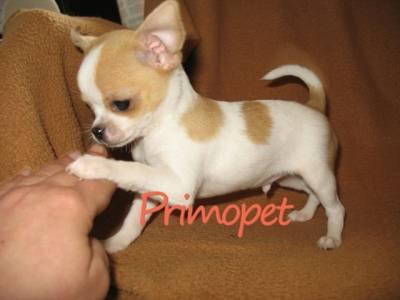 Rasa Chihuahua - Blog pentruanimale.ro